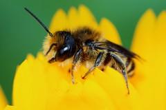 Big eyed bee 010618 IMG_0042 (clavius2) Tags: mining bee andrena sp big eyes yellow flower north east england uk insect macro