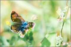 papillon (Des.Nam) Tags: couleur papillon nature faune desnam nordpasdecalais hautsdefrance d800 105mmf28 vert bleu orange macro proxy pdc