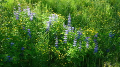 A Summer Meadow in Iceland (abrideu) Tags: abrideu panasonicdmctz20 meadow grass flowers landscape iceland ngc npc