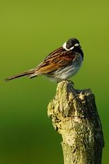 DSC02982 - Male Reed Bunting (steve R J) Tags: reed bunting blue house farm ewt reserve north fambridge essex birds british