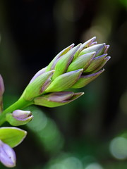 Buds (The-Beauty-Of-Nature) Tags: summer sommer june juni nature germany deutschland plants pflanzen green grün lush sunny sun sonne sonnig warm fields feld buds bud