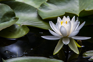 waterlilly_1