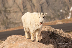Young Mountain Goat not wanting its picture taken