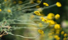 Dandelion Wine #9 (gorelin) Tags: poland polska warsaw warszawa powsin botanical garden ogrod botaniczny sony alpha a7 a7ii ilce7m2 zeiss 55mm fe55f18za flowers summer bokeh