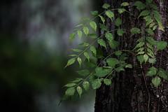 harmony of nature (Mr. Greenjeans) Tags: vine flow harmony zen treetrunk bark