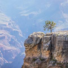 And If Guilty's the Question, Truth is the Answer (Thomas Hawk) Tags: america arizona grandcanyon grandcanyonnationalpark thegrandcanyon usa unitedstates unitedstatesofamerica tree grandcanyonvillage fav10 fav25 fav50