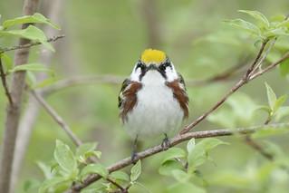 Chestnut-sided Warbler (Setophaga pensylvanica)