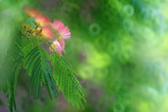 Pink Silk Mimosa (lfeng1014) Tags: pinksilkmimosa persiansilktree albiziajulibrissin pinksilktree mimosa pinksiris athens greece canon5dmarkiii ef70200mmf28lisiiusm donutbokeh closeup bokeh dof depthoffield flower flowermacro macro light lifeng
