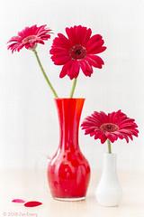 Red Gerberas (Jamarem) Tags: red gerbera gerberas vase white floral flowers stilllife tabletop texture fibres canoneos70d 50mml portrait