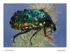 Jewel beetle (guitarmargy) Tags: beetle jewel macro insect bugshot fauna animal artropodi coleoptera closeup drops coleottero insetto gocce rugiada gioiello marcellobardi entomologo