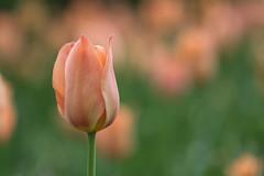 Peach tulip (tsandra996) Tags: tulip nature garden flower flora