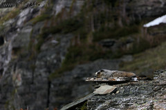 "Hoary Marmot • <a style=""font-size:0.8em;"" href=""http://www.flickr.com/photos/63501323@N07/42323156264/"" target=""_blank"">View on Flickr</a>"