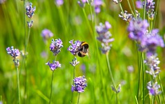 Summer Pollinaters (Adam Swaine) Tags: bumblebee beautiful lavender flora flowers peckhamryepark londonparks england english parks britain british naturelovers nature summer canon pollination macro petals purplegreen