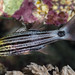 Tiger Cardinalfish, old juvenile - Cheilodipterus macrodon