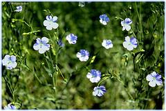 La petite fleur bleue ² © interlude (philippedaniele) Tags: champsdelin lapetitefleurbleuefleur graine fibre textile aggloméré tourteau campagne champ quincampoix