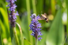 lake katherine. 2018 (timp37) Tags: hummingbird moth illinois lake katherine 2018 july summer palos plant