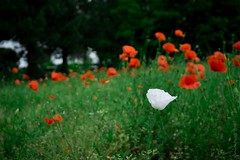 be unique (simone.pelatti) Tags: white poppin flower unique different red green countryside grass field garden nature