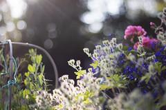 (Girl With Butterfly Wings) Tags: flowers plants garden light sunlight evening nature outdoors summer heatwave summertime