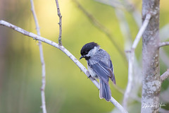 Black-Capped Chickadee (zhenhuanhu) Tags: animal wildlife tiny chickadee