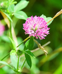 pink clover (Steve4343) Tags: steve4343 nikon 7200 appalachian trail cherokee national forest red green blue yellow orange white clouds sky beautiful tennessee autumn beauty johnson county lake watauga cloud colorful woods garden gardens happy leaves rocks wildlife landscape mountain tree trees grass water wood butler summer spring macro flower flowers at pink clover