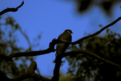Nighthawk (Albie30) Tags: sparrowhawk birdofprey wildlife