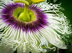 Passiflora edulis f.l flavicarpa (Roniyo888) Tags: closeup white climber vine flavicarpa edulis passiflora fruit passion purple macro flower plant tropical