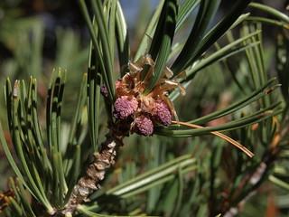 whitebark pine, Pinus albicaulis, male cones