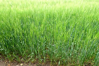Colours and variations in a field of barley