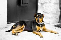 DSC01581 (g.lebloas) Tags: chien pinschermoyen pinscher noir blanc noietblanc dog blackwhite orange portrait pet couleurselective selectivecolor
