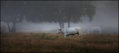 White cow (na_photographs) Tags: kuh nebel fog nature