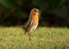 Robin - Erithacus rubecula (Gary Faulkner's wildlife photography) Tags: robin erithacusrubecula