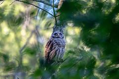 is she coming? (long.fanger) Tags: centreville virginia barredowlstrixvaria owlet utilityeasementarea