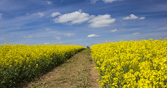 Distant Tree (sdmvqedd30) Tags: rape oil seed field agriculture track yellow tree landscape clouds sky view countryside leicestershire woodhouse farming canon