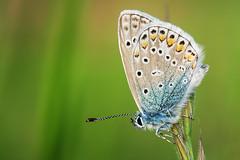 Allez les Bleus (Olaf Traumflieger) Tags: bläuling kaiserstuhl polyommatusicarus