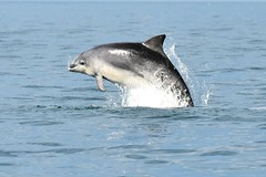 Dolphin leap lit by the sun (karen leah) Tags: dolphin bottlenose mammal nature wildlife outdoors sea july summer cardiganbay ceredigion movement leaping acrobatics