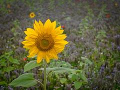 Sonnenblume. (jens.steinbeisser) Tags: deutschland olympusepl3 m42objektiv meyerdomiplanpentaflex50mmf28 rawtherapee niedersachsen outdoor focalreducer sonnenblume pflanze