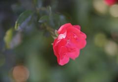 DSC09024 (Old Lenses New Camera) Tags: sony a7r kodak medalist ektar heliar 100mm f35 plants garden flowers rose roses