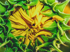 Sunflower Field (www.icon0.com) Tags: flower field yellow agriculture sunflower nature rural background landscape vibrant sky blossom plant sunny sun beautiful growth blooming flora natural meadow petals floral orange beauty garden organic seed leaf pretty