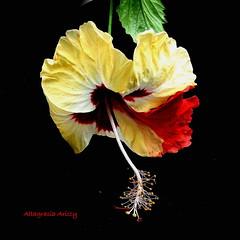 Hibisco/Hibiscus (Altagracia Aristy Sánchez) Tags: hibisco hibiscus cayena laromana repúblicadominicana dominicanrepublic caribe caribbean caraibbi antillas antilles trópico tropic américa fujifilmfinepixhs10 fujifinepixhs10 fujihs10 altagraciaaristy blackbackground sfondonero fondonegro