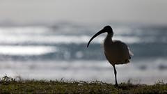 Sacred Ibis (Mikey Down Under) Tags: australia beach binchicken bird coast coffs ibis northcoast northern nsw rail silhouette sparkling timber water wild woolgoolga