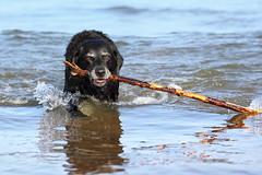 Got it, again :D (Pog's pix) Tags: poppy dog old pet cute fun behaviour swimming sea fetching stick coastal beach st cyrus aberdeenshire scotland