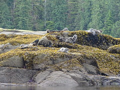 DSC02518 (jrucker94) Tags: ketchikan alaska coastalwildlifesearch excursion cruise port nature seal seals colony ocean