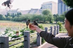 Joy (photokristo) Tags: bird birds film leica tokyo story photography photo shinto shoot nature analogue japan ueno day sunny park street kodak blur wild colorful color susume sparrow