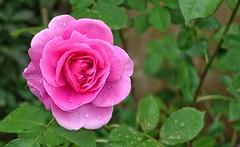 Rose-Gertrude Jekjll (silverfox107) Tags: rose pink gertrudejeykll sony sonyrx100 sonyrx100iii macro raindrops