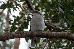 Kookaburra (aaron.wiggan) Tags: 2018 june australia fz1000 bird australian kookaburra native littlecabbagetreecreek queensland