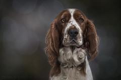 Comfortably Dumb (SkyeWeasel) Tags: animal dog pet portrait spaniel welshspringerspaniel welshie bokeh