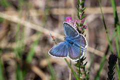 VM12 - Silver Studded Blue S4 - John French (John French 108) Tags: butterfly heathland heather newforest insect lepidoptera blue wildlife nature silver purple