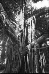 . (Salvo Fuccio) Tags: film 35mm nikonfe2 ilford fp4 epsonv600 alberi luce tree