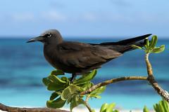 Anous stolidus (Brown Noddy) - Seychelles (Nick Dean1) Tags: anousstolidus noddy brownnoddy tern seabird charadriiformes thewonderfulworldofbirds birdperfect birdwatcher seychelles birdisland africa indianocean
