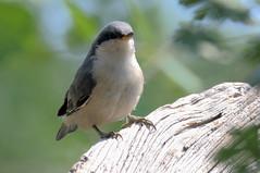 Pygmy Nuthatch -- Juvenile (Sitta pygmaea); Santa Fe National Forest, NM, Thompson Ridge [Lou Feltz] (deserttoad) Tags: wildlife nature newmexico mountain desert bird nationalforest wildbird songbird nuthatch